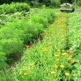 Garden-Rows-w-Flowers